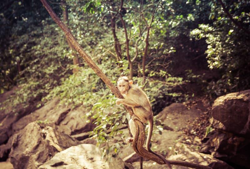 在狂放的印度短尾猿猴子 巴格万马哈维尔储备 免版税库存图片