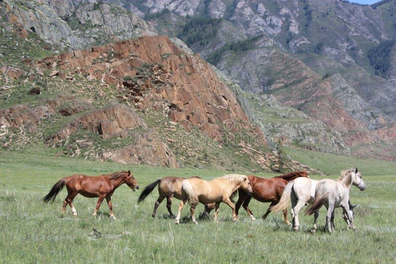 在狂放的山中的马 免版税库存图片