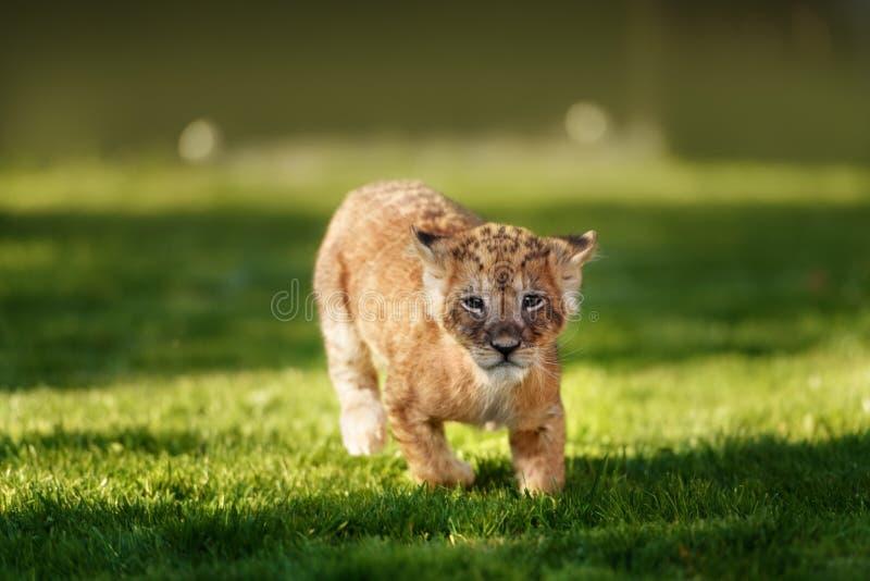 在狂放的幼小幼狮 图库摄影