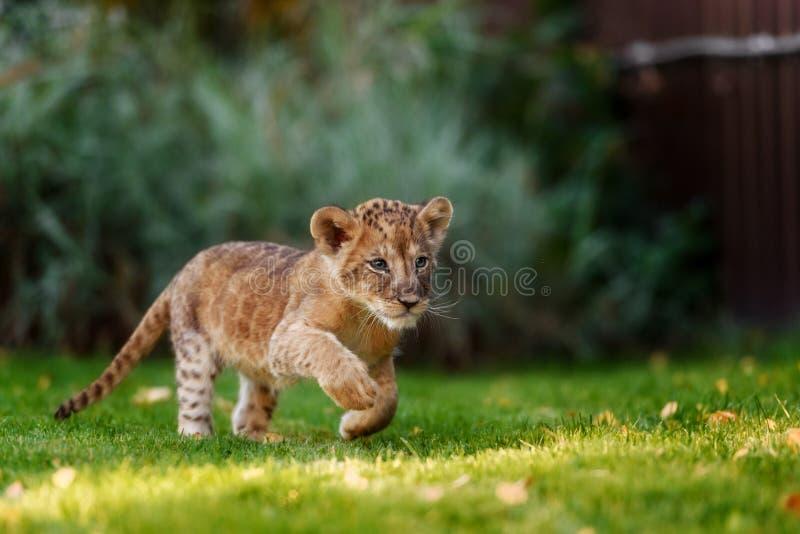 在狂放的幼小幼狮 库存照片