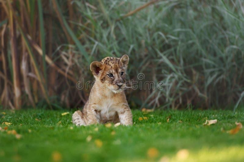 在狂放的幼小幼狮 免版税库存图片