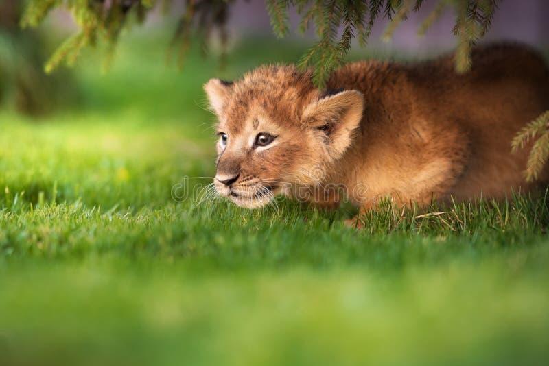在狂放的幼小幼狮 免版税库存照片