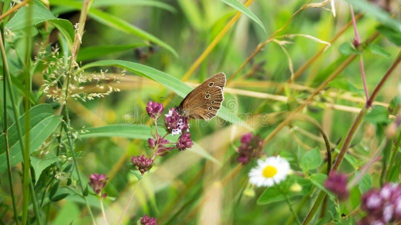 在狂放的开花内的一只非常繁忙的棕色蝴蝶 免版税图库摄影