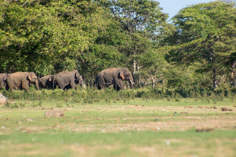 在狂放的斯里兰卡的大象 免版税库存图片