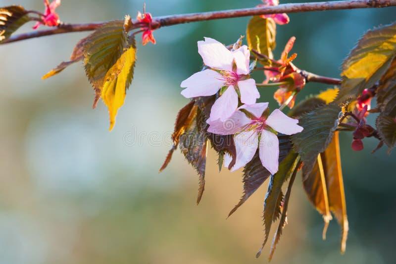 在狂放的樱桃树,特写镜头的桃红色花 免版税库存照片