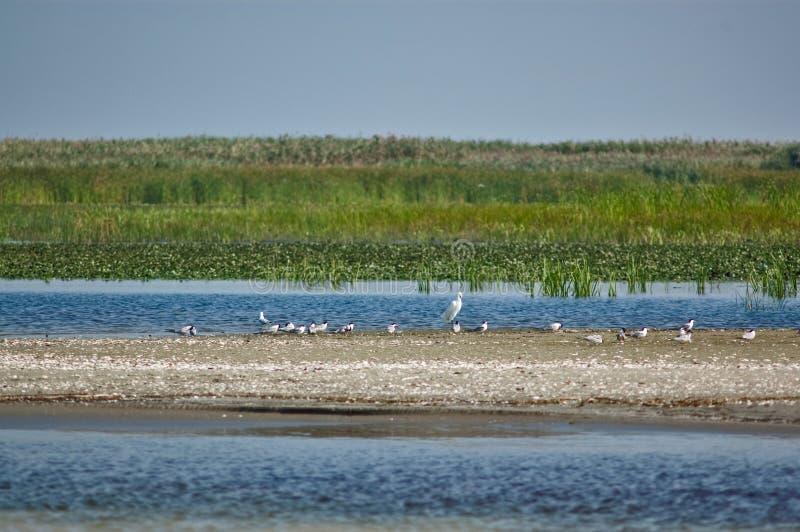 在狂放的沙子的白色鸟在多瑙河三角洲靠岸 库存图片