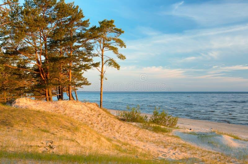 在狂放的海滩的清早与清楚的天空和生长杉木 波罗的海海岸拉脱维亚 库存图片