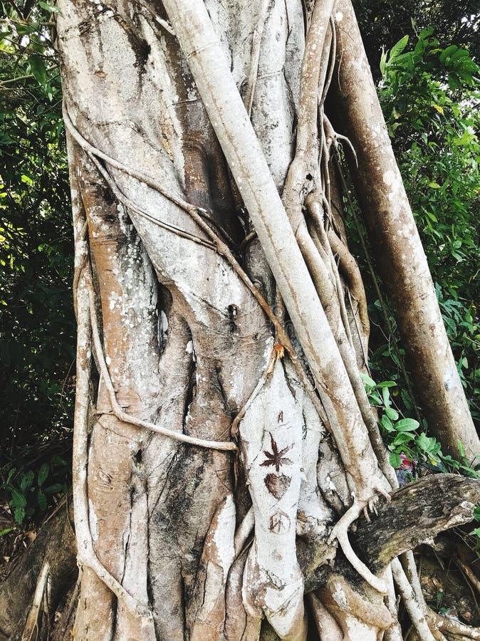 在狂放的海滩的老树在果阿,印度 免版税库存照片