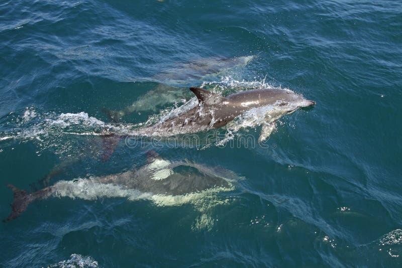 在狂放的海豚 库存图片