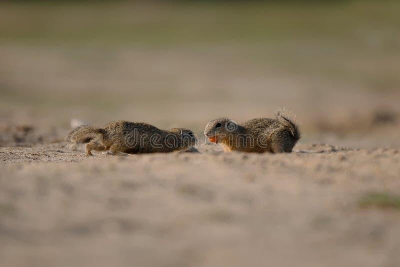 在狂放的灰鼠捷克自然 图库摄影