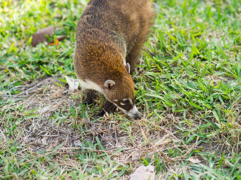 在狂放的白被引导的浣熊,尤加坦,墨西哥 免版税库存照片