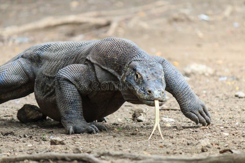 在狂放的科莫多巨蜥 库存照片