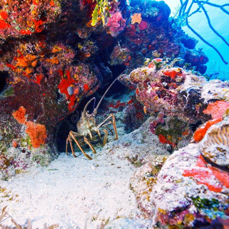 在狂放的红色龙虾,缓慢地Cayo 免版税库存照片