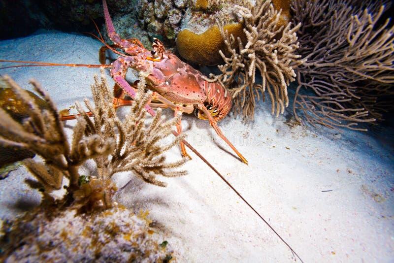在狂放的红色龙虾,缓慢地Cayo 免版税库存图片