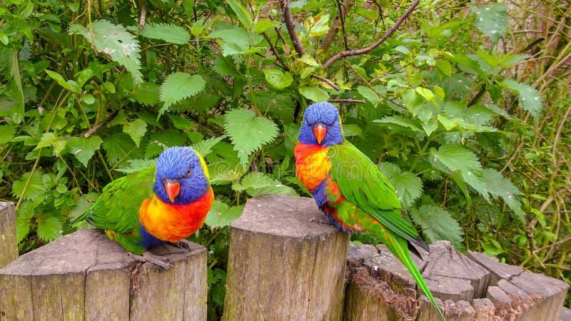 在狂放的美丽的鹦鹉 库存照片