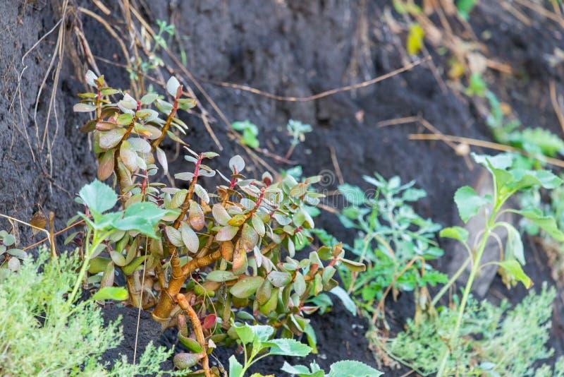 在狂放的自然的多汁室内植物景天树在地面 图库摄影