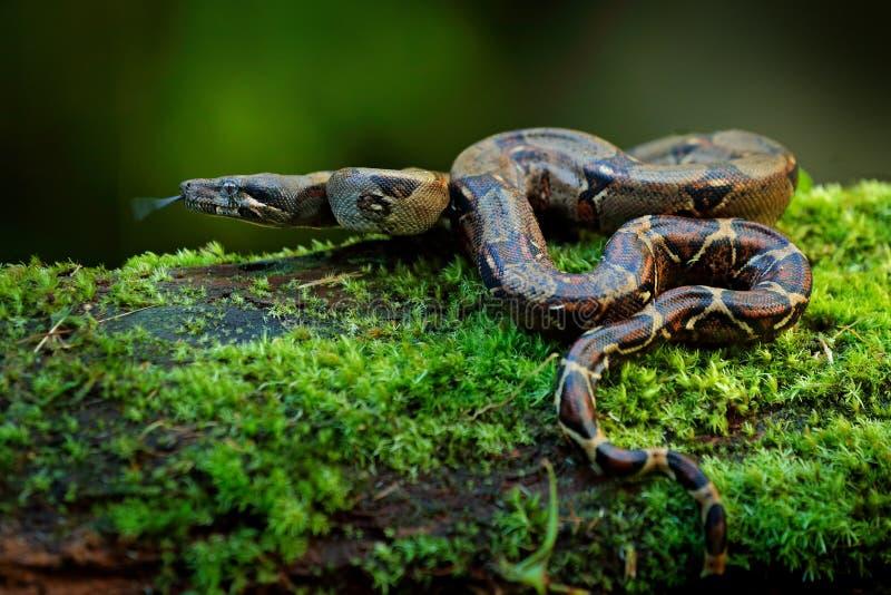 在狂放的自然的大蟒蛇蛇,哥斯达黎加 从中美洲的野生生物场面 旅行在危险热带的森林里 图库摄影