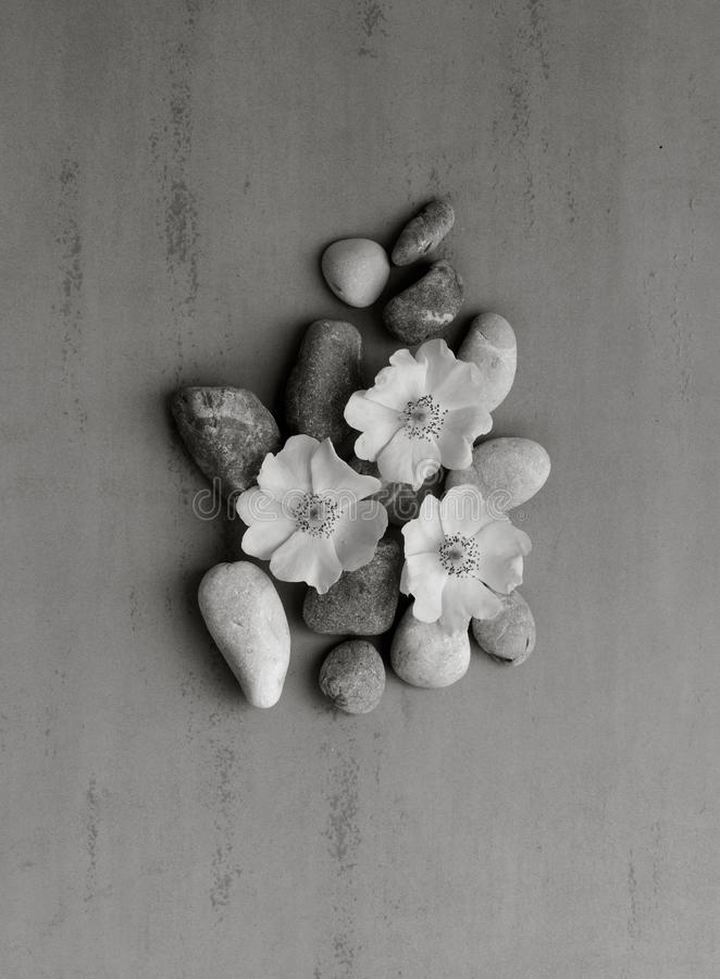 在狂放的花的三个白色小卵石在灰色背景上升了 库存照片