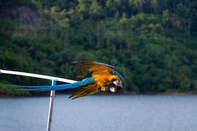 在狂放的蓝色和黄色Macow鹦鹉 图库摄影