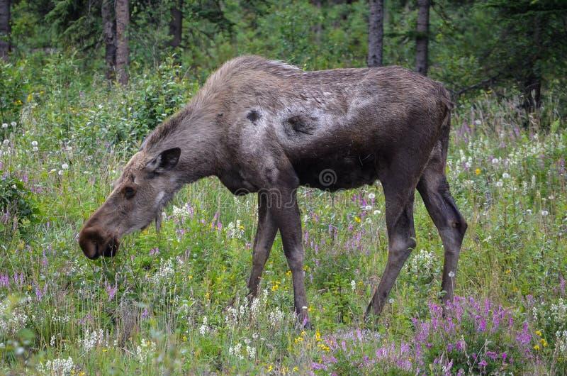 在狂放的阿拉斯加的麋 免版税库存照片