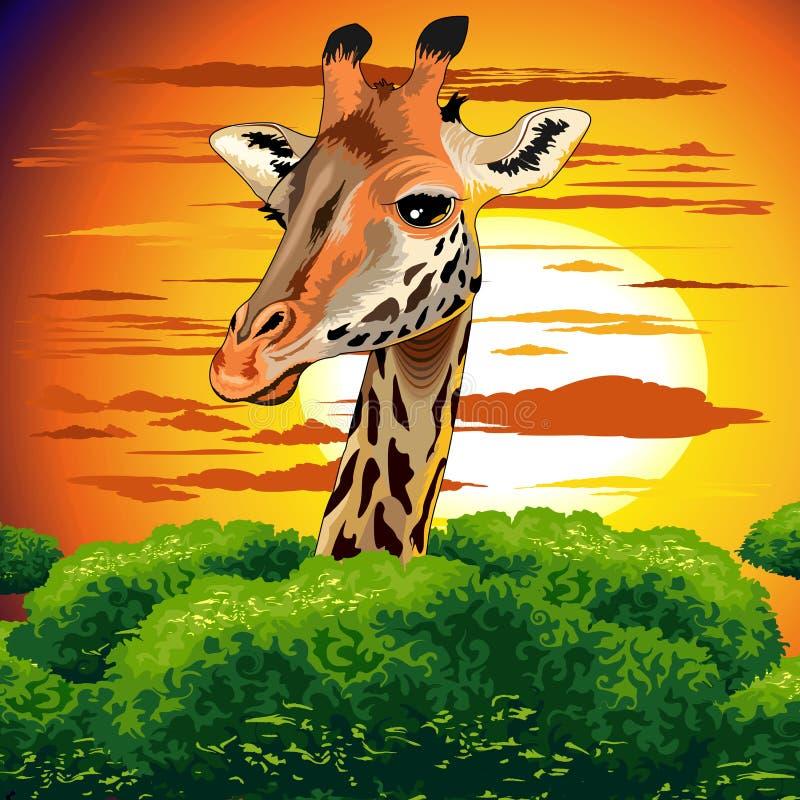 在狂放的非洲大草原日落的长颈鹿 库存例证