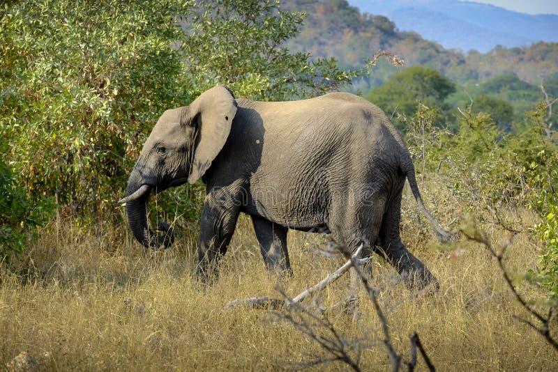 在狂放的非洲大象 免版税库存图片