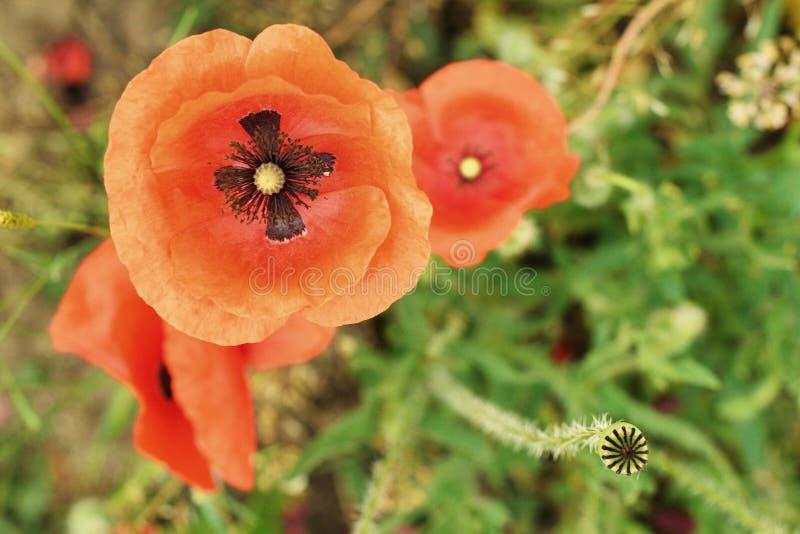 在狂放的领域的花红色鸦片开花 美丽的领域红色鸦片 免版税库存照片