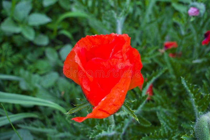 在狂放的领域的花红色鸦片开花 美好的领域红色p 免版税库存照片