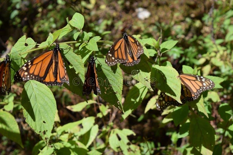 在狂放的黑脉金斑蝶 免版税库存图片