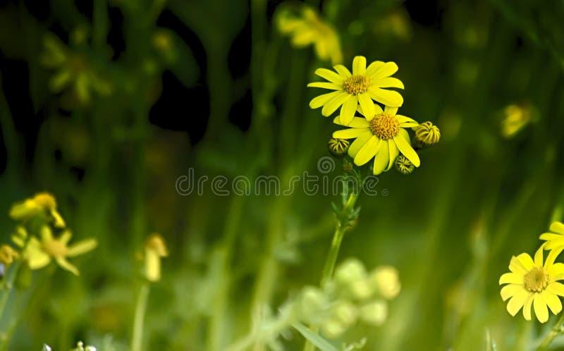 在狂放的黄色花 免版税库存图片