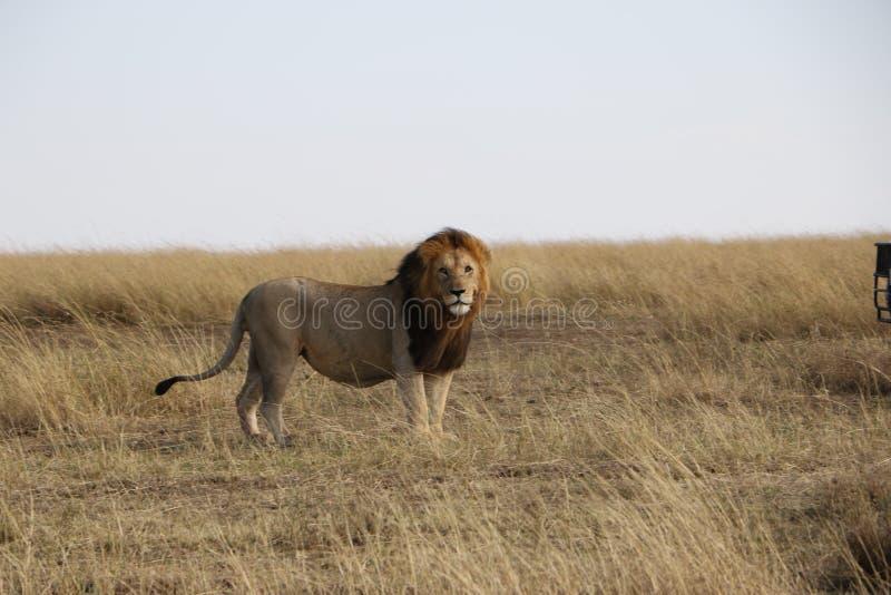 在狂放的maasai玛拉的公狮子 库存照片