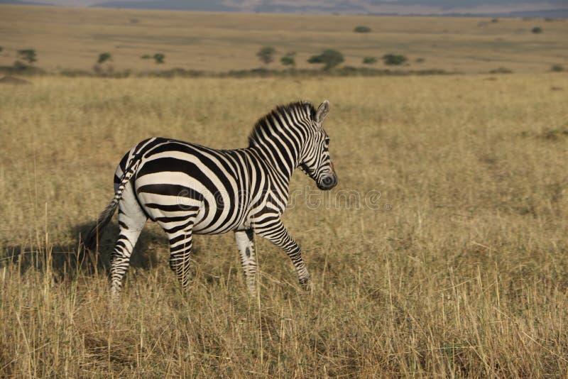在狂放的maasai玛拉的斑马 库存图片