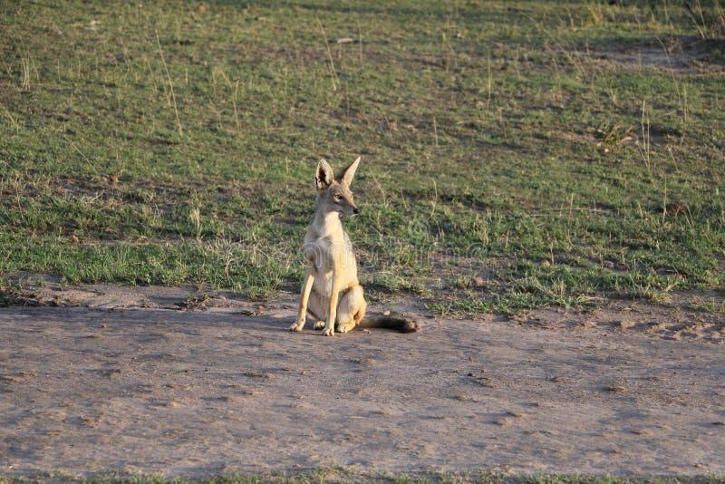 在狂放的maasai玛拉的旁边镶边狐狼 免版税库存图片