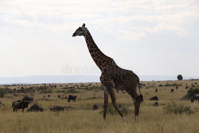 在狂放的maasai玛拉的长颈鹿 库存图片
