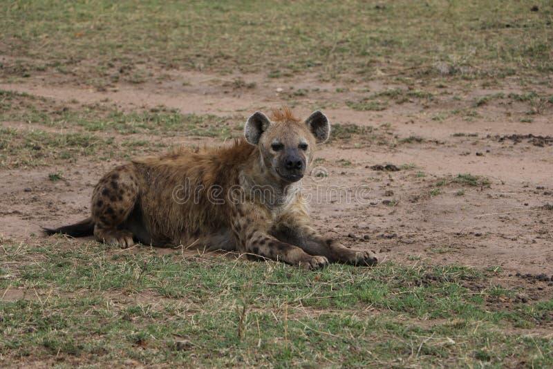 在狂放的maasai玛拉的鬣狗 图库摄影