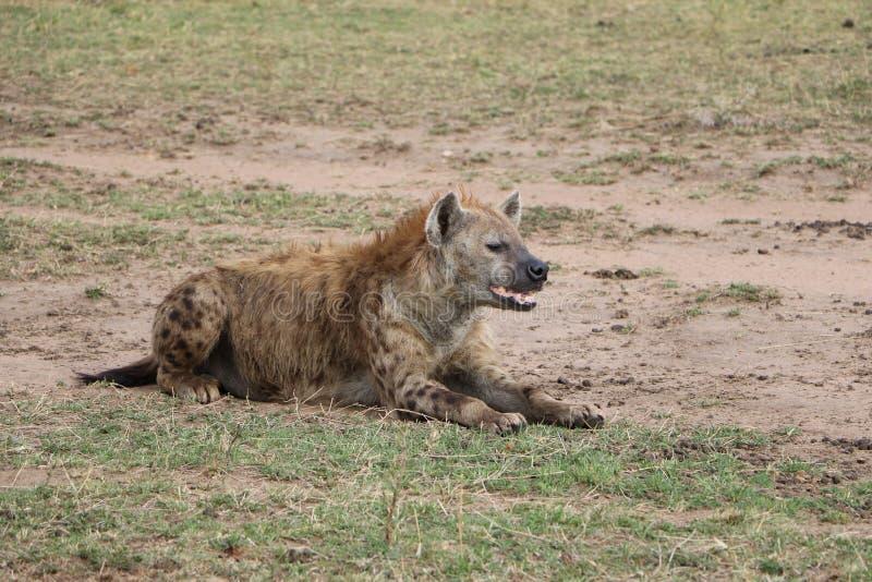 在狂放的maasai玛拉的鬣狗 免版税库存照片