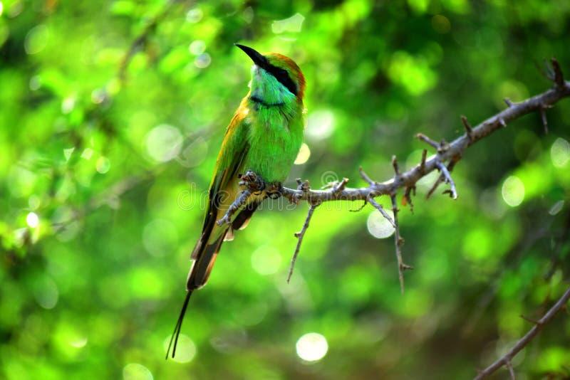 在狂放的Sri LankaGalliformes的鸟 库存照片