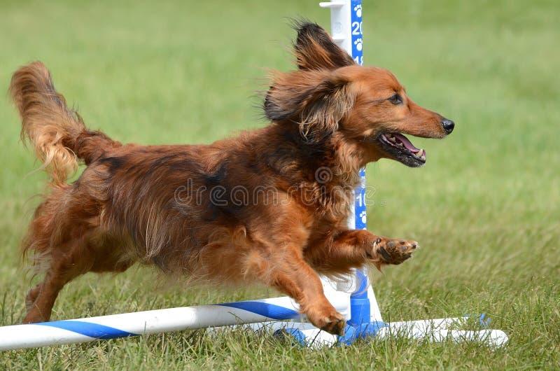 在狗敏捷性试验的微型达克斯猎犬 库存照片