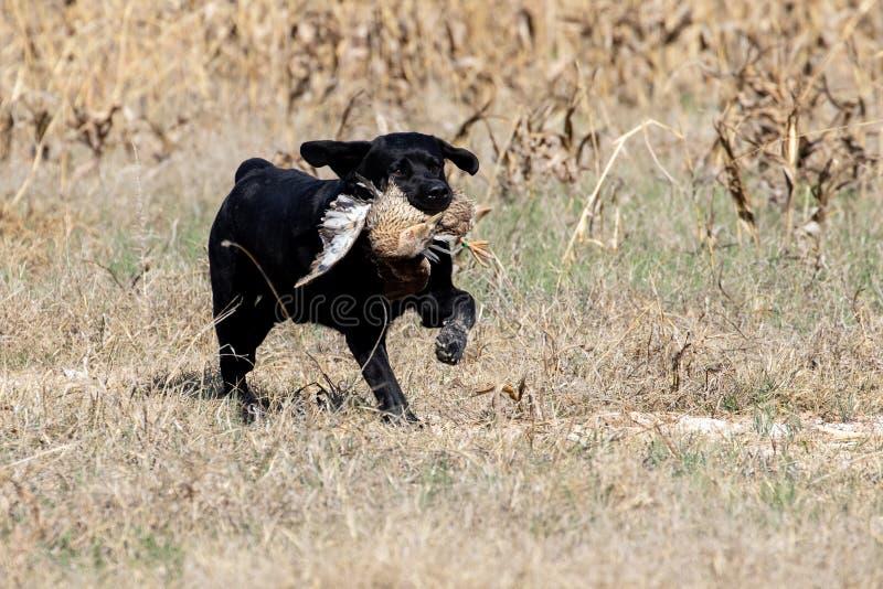 在狩猎测试期间的黑拉布拉多猎犬 库存图片