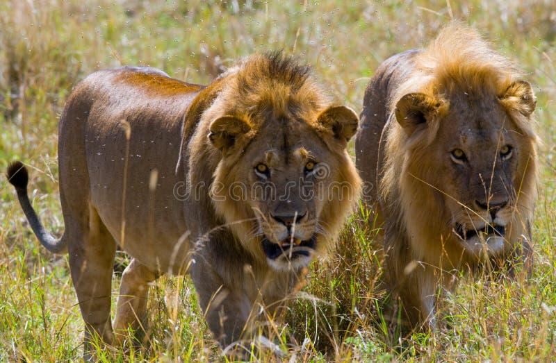 在狩猎的两头大公狮子 国家公园 肯尼亚 坦桑尼亚 mara马塞语 serengeti 免版税库存照片