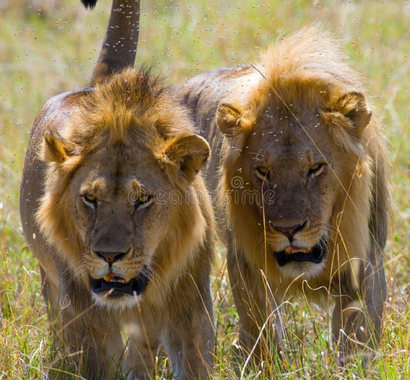 在狩猎的两头大公狮子 国家公园 肯尼亚 坦桑尼亚 mara马塞语 serengeti 免版税库存图片