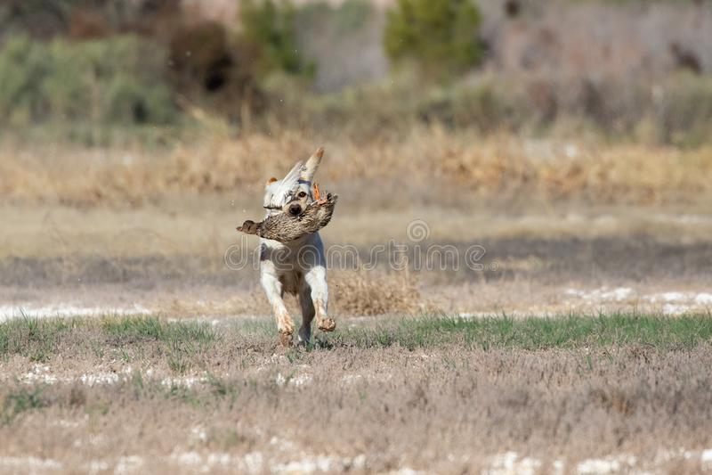 在狩猎野外试验期间的拉布拉多猎犬 免版税库存图片