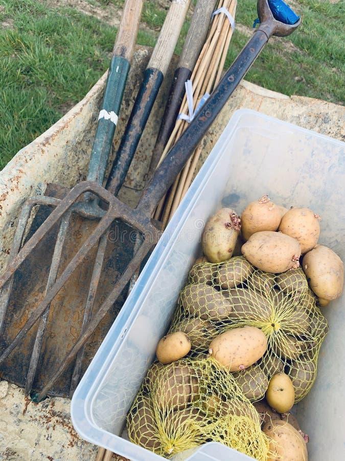 在独轮车里种马铃薯 免版税库存图片