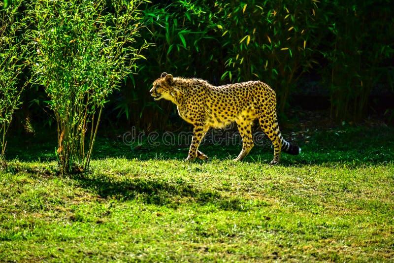 在狭小通道的猎豹在动物园英国 库存图片