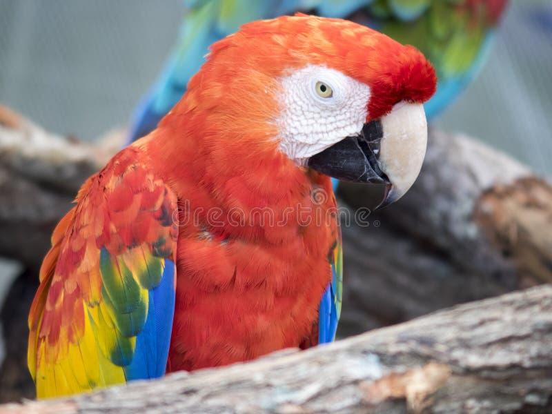 在狮子国家徒步旅行队,棕榈滩的绿色和红色金刚鹦鹉 库存照片