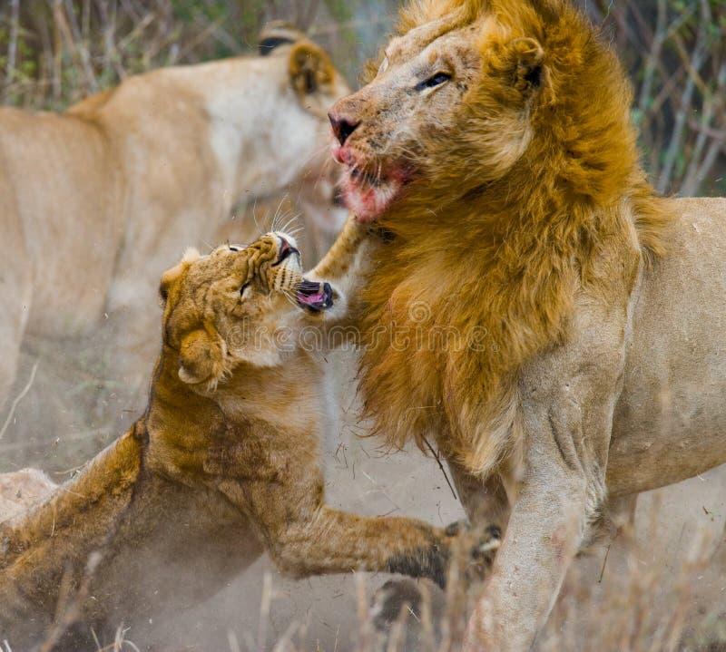 在狮子家庭的战斗  国家公园 肯尼亚 坦桑尼亚 mara马塞语 serengeti 免版税库存照片