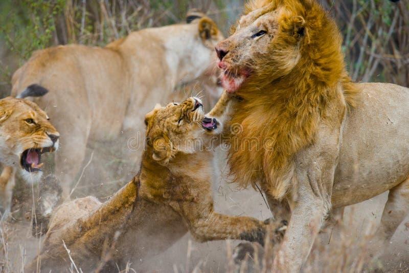 在狮子家庭的战斗  国家公园 肯尼亚 坦桑尼亚 mara马塞语 serengeti 免版税库存图片