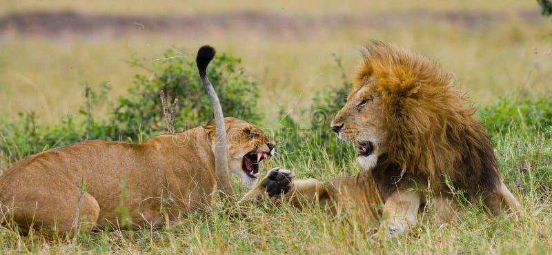 在狮子家庭的战斗  国家公园 肯尼亚 坦桑尼亚 mara马塞语 serengeti 图库摄影