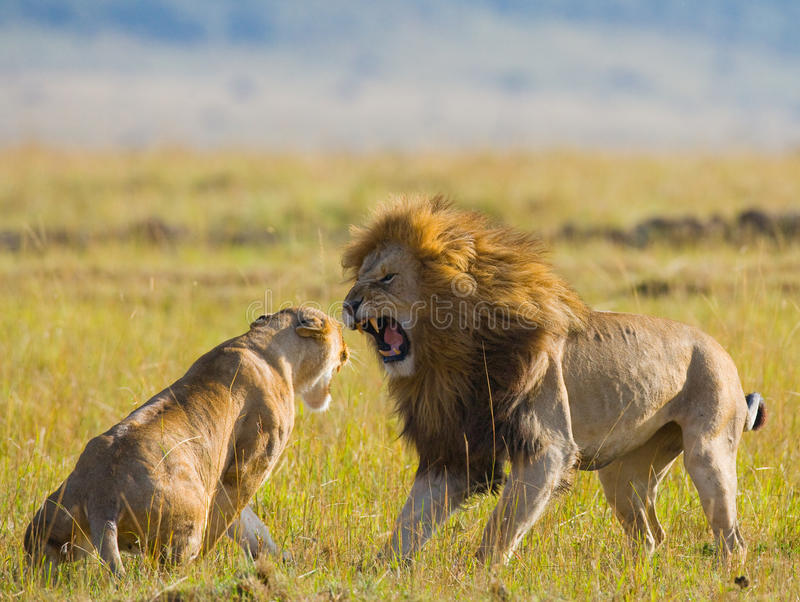 在狮子家庭的战斗  国家公园 肯尼亚 坦桑尼亚 mara马塞语 serengeti 库存照片