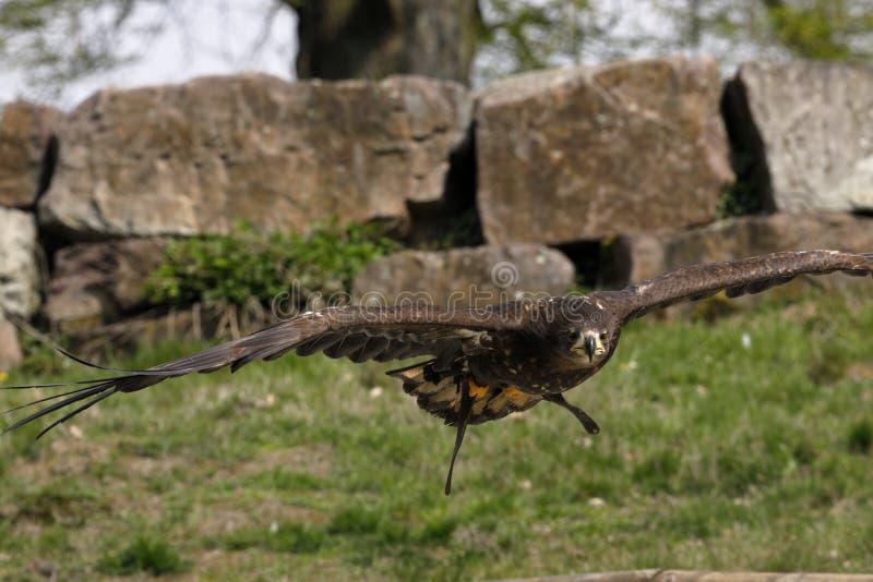 在猎鹰训练术的老鹰 免版税库存照片